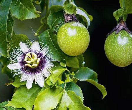 The Energetic Properties Of Passionflower Passion Fruit Plant Passion Fruit Passion Flower