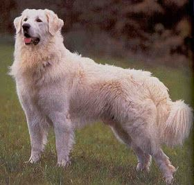 Colorado Great Pyrenees Rescue Community What S That Big White