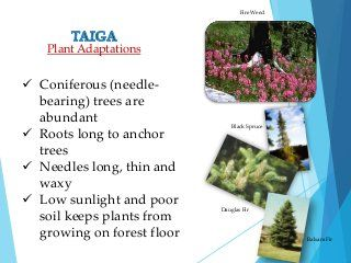The taiga is the largest biome. Terrestrial Biomes Biomes Plant Adaptations Poor Soil