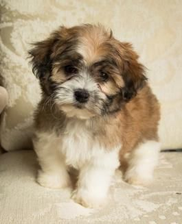 Stella Lou Shichon Puppy For Sale In Youngstown Oh Lancaster