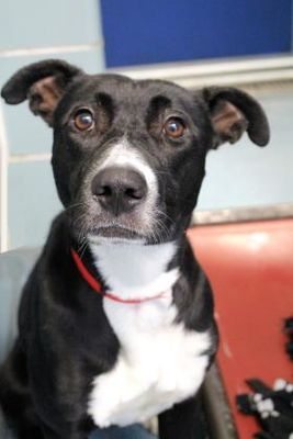 Chicago Il Mixed Breed Large Meet Lizzie A Dog For Adoption Cat Has Fleas Dog Adoption Mixed Breed Dogs