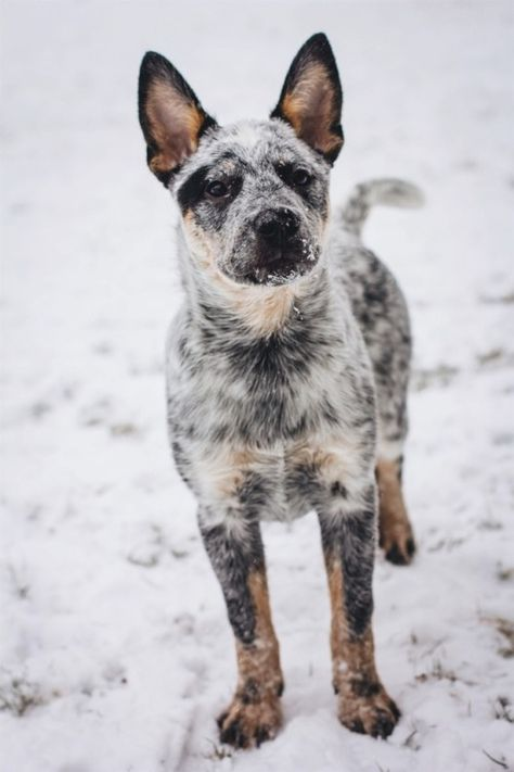 Cute Puppies, Dogs And Puppies, Doggies, Austrailian Cattle Dog, Dog Rules, Wild Dogs, Dog Life, Best Dogs, Cattle Dogs