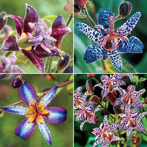 50pcs Tricyrtis Hirta Toad Lily Flower Seeds Shade Perennial Garden Flower Plant