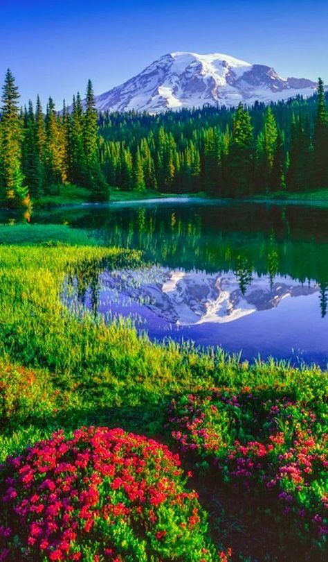 Rainier and red heather at Reflection Lakes in Mount Rainier National Park, … Beautiful Landscape photography : Mt. Rainier and red heather at Reflection Lakes in Mount Rainier National Park