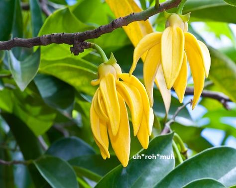 Ylang Ylang has relaxing and soothing properties that make it convenient in aromatherapy for treating numerous stress-related disorders including nervous tension, anxiety, and depression. #essentialoilsforanxiety