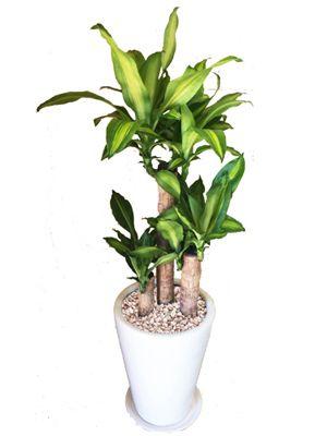 玄関の観葉植物はコレ 風水アドバイザー資格を持つ店長がご紹介 観葉植物 風水 玄関 観葉植物