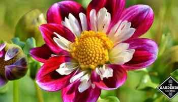 How To Grow Coneflower Gardening Channel In 2020 Container Gardening Flowers Lantana Flowers Perennials