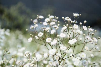 Bugs That Eat Baby S Breath Common Pests Of Baby S Breath Flowers Plant Pests Gypsophila Plants
