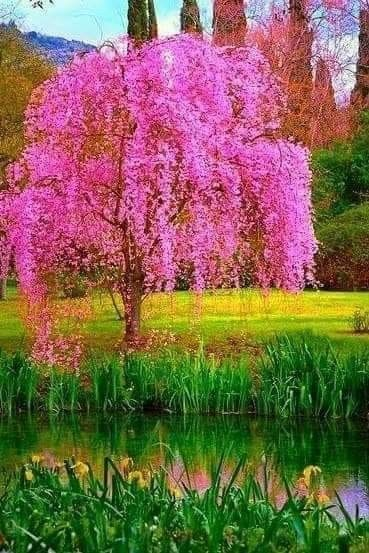 Pin By Leigh Ann On Paisagens Beautiful Tree Flowering Trees Blossom Trees