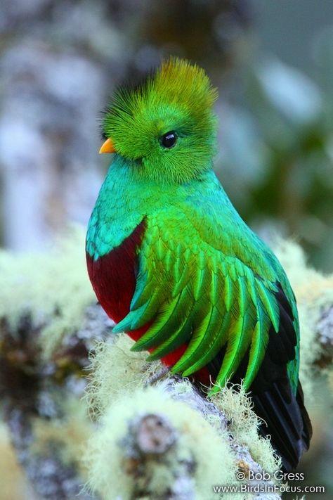 Male Resplendent Quetzal: Pharomachrus mocinno