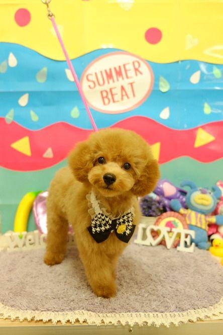 ふわもこ仔犬スタイル千葉県のトリミングカット写真集 ドッグカフェ Jp千葉版 動物 かわいいペット 犬