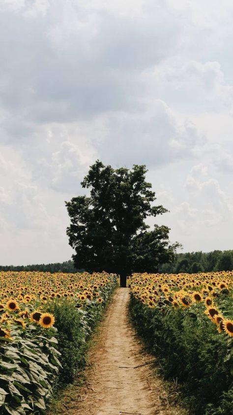 Sonnenblume - - #hintergrundbilder