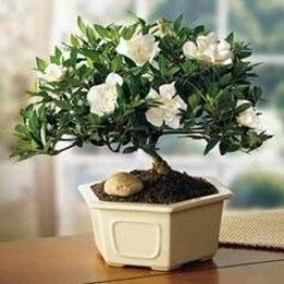 Grow Your First Bonsai From Seed Bonsai Tree Gardenia Plant