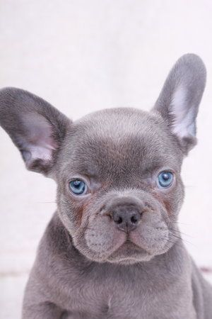 French Bulldog Puppies For Sale In Washington State Availabull