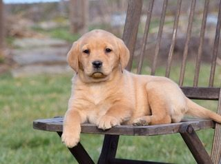Meet These Beautiful Lab Pups Who Would Be Delighted To Be