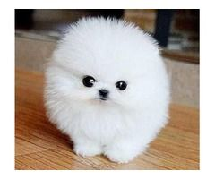 Outstanding Teacup Pomeranian Puppies