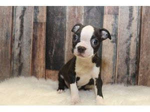 Puppies And Dogs For Sale Petland Round Lake Beach Illinois Dogs For Sale Puppies Dogs