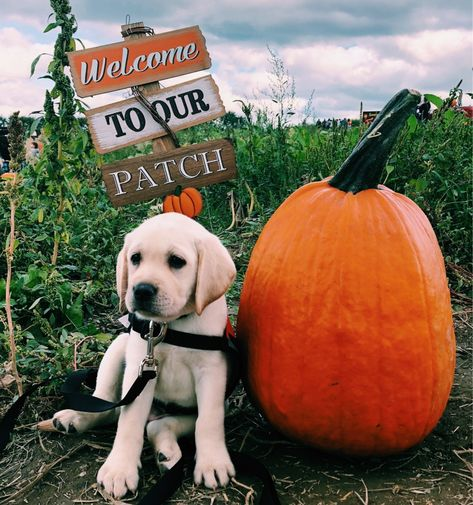 cutie labrador retriever puppy at a pumpkin patch Cute Puppies, Cute Dogs, Dogs And Puppies, Doggies, Herbst Bucket List, Pug, Baby Animals, Cute Animals, Autumn Aesthetic