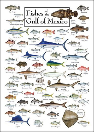 Fish of the Gulf of Mexico | Saltwater Fish Charts...sniff sniff miss the gulf