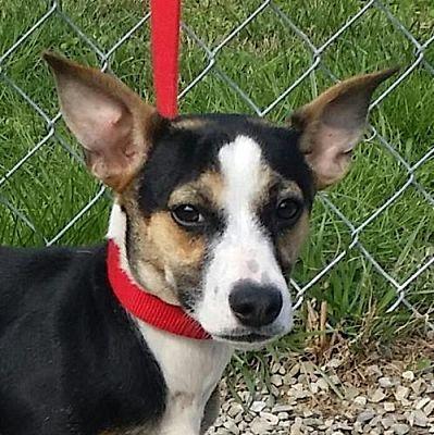 Allentown Pa Dachshund Meet Sierra Tia A Dog For Adoption