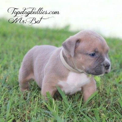 Blue Pitbull Puppies Forsale Pitbull Breeder Pitbull Puppies American Bully For Sale Blue Pitbull Pitbull Puppies Pitbull Breeders