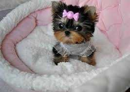 Home Trained Male And Female Teacup Yorkie Puppies Teacup Yorkie Puppy Yorkie Puppy Teacup Yorkie