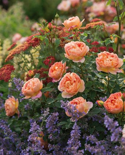 Growing Roses By Themselves Would Be An Open Invitation To The Pests And Diseases That Favor Roses Rose Garden Design Lady Of Shalott Rose Plant Combinations