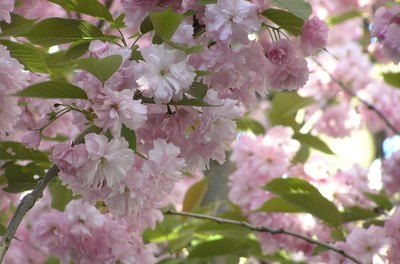 Pin By Tracy Remy Biro On Plants In 2020 Weeping Cherry Tree Flowering Cherry Tree Japanese Cherry Tree