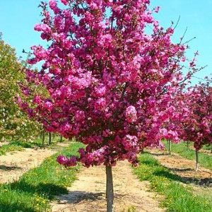Showtime Crabapple Pahl S Market Apple Valley Mn In 2021 Crabapple Tree Trees For Front Yard Potted Trees