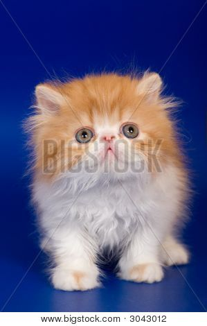 Persian Kitten Poster Kittens Persian Kittens Cat Allergies