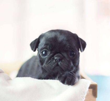Teacup Pugs Paradise Pugs For Sale Pugs For Sale Teacup Pug