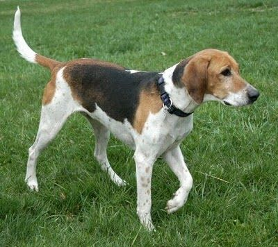 American Foxhound. They are members of the hound group. They are great fox hunters. They stand at 21-25 inches at the shoulder and weigh about 65-75 pounds.