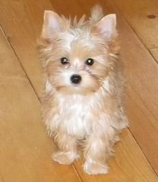 Gb 6 Blondie Fleurette De La Creme Yorkie Dogs Yorkie Cute Baby Animals
