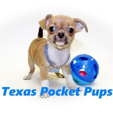 Dallas Tx Teacup Chihuahua Puppies For Sale Dallas Texas Breeder Teacup Chihuahua Puppies Teacup Chihuahua Puppies For Sale