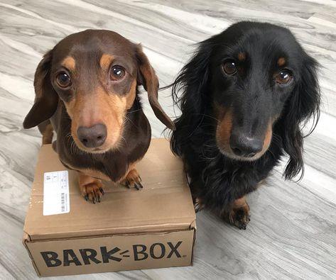 Barkbox Dachshund Dogs Barkbox Dog Toys Barkbox Dog Food Barkbox