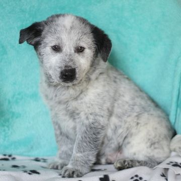 American Eskimo Dog Australian Cattle Dog Mix Puppy For Sale In Gap Pa Adn 68724 On Puppyfinder Australian Cattle Dog Mix Cattle Dogs Mix American Eskimo Dog