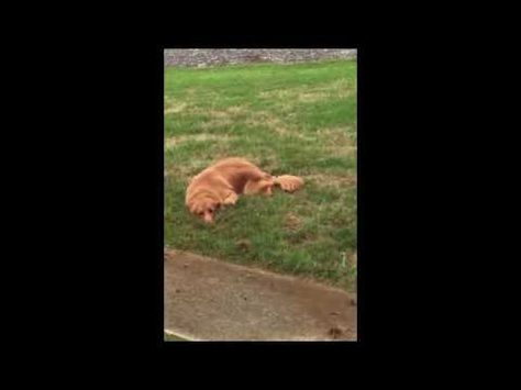 Golden Retriever Caught Digging A Hole In The Garden Tries To Hide