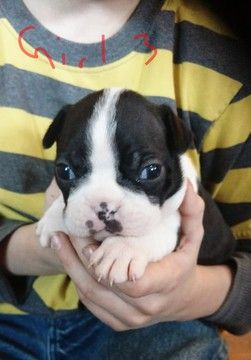 Litter Of 5 American Boston Bull Terrier Puppies For Sale In