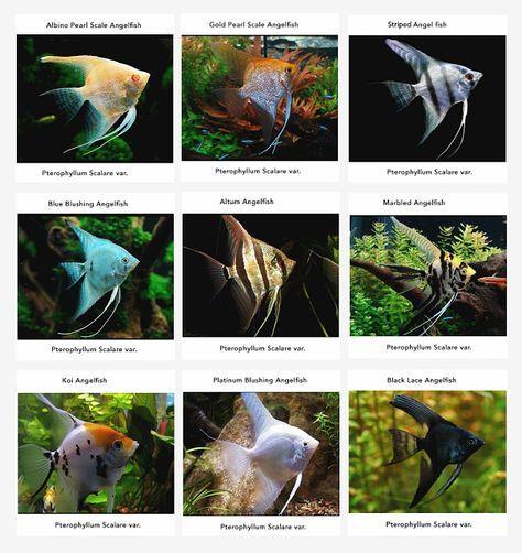 Angelfish Information Care Tankmates Feeding And Breeding All Aquarium Info Where To Buy Garra Angel Fish Fresh Water Fish Tank Tropical Freshwater Fish