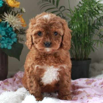 Cavapoo Puppy For Sale In Gap Pa Adn 72094 On Puppyfinder Com Gender Male Age 7 Weeks Old Cavapoo Puppies For Sale Puppies For Sale Cavapoo Puppies