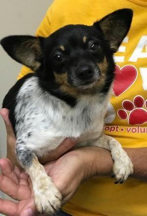 Summer Adoptable Dog Puppy Female Chihuahua Pomeranian Mix