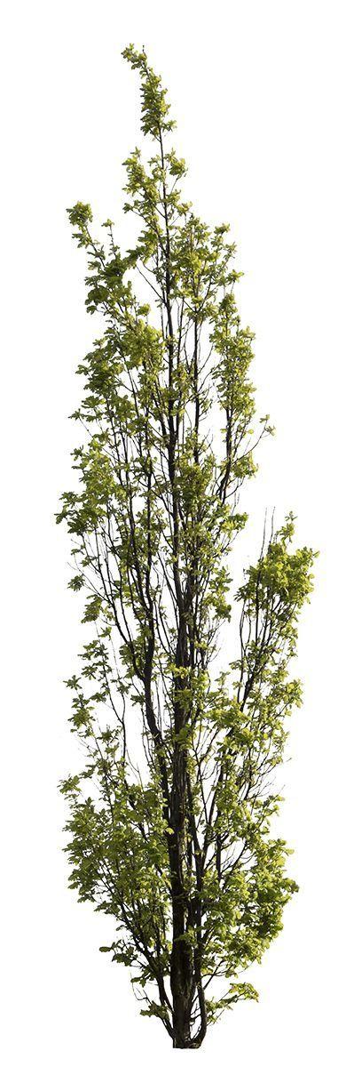 568 X 4824 Pixels Png With Transparent Background Quercus Robur Fastigiata Eng Modern Design English Oak Tree Transparent Background Deciduous Trees