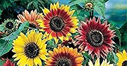 Gambar Bunga Matahari Dan Warnanya Win S Blog Jenis Jenis Bunga Matahari Daftar Nama Bunga Lengkap Beserta Gambar Dan Penjelasannya Gambar Alam Mekar Plants