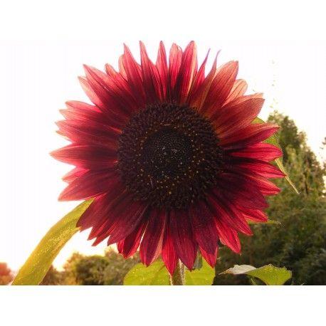 Wild Sunflower Seeds Sunflower Plant Seeds Helianthus Seeds Red Sunflowers Planting Sunflowers Types Of Sunflowers