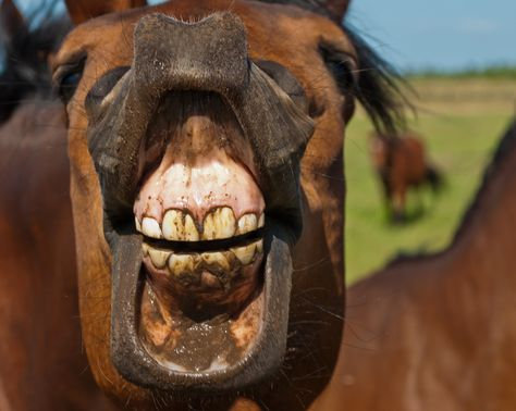 Horses Teeth Never Stop Growing Horses Have To Chew Rough Grasses
