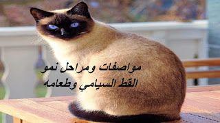 المهندس الزراعي مواصفات ومراحل نمو القط السيامي وطعامه Siamese Cats Cats Animals