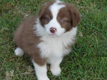 Border Collie X Australian Shepherd Puppies Chocolate White With