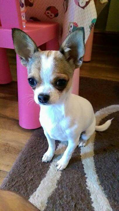 I Love Chihuahuas Chihuahua Chihuahua Puppies Chihuahua Dogs