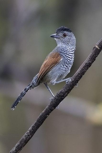 Choca De Asa Vermelha Thamnophilus Torquatus Animais Aves E Asas