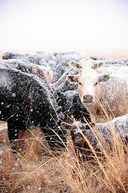 We got another snow on the ranch yesterday, and I went feeding with Marlboro Man for a bit. It's pretty much all he's been doing: Feeding cattle, with a couple of calf workings here and… Farm Animals, Cute Animals, Cow Pictures, Photo Deco, Show Cattle, Beef Cattle, Cattle Dogs, Future Farms, Cute Cows